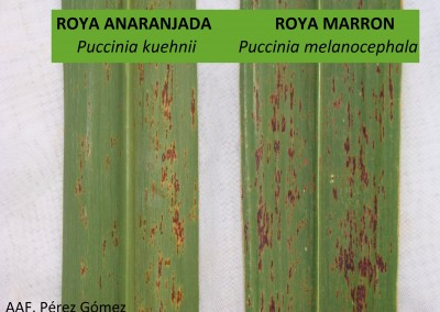 Roya marrón y Roya anaranjada en Caña de azúcar (Saccharum officinarum)