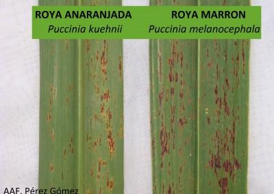 Roya marrón y Roya anaranjada en Caña de azúcar (Saccharum officinarum)